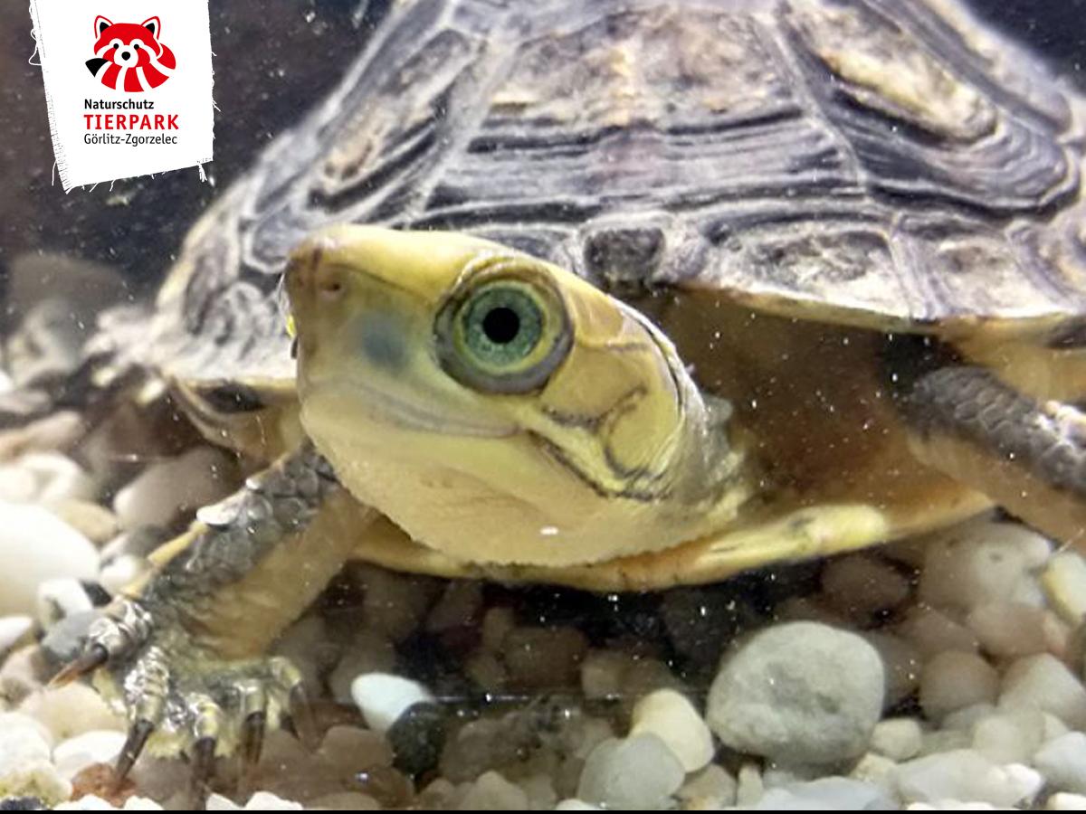 Goldkopfschanierschildkröte