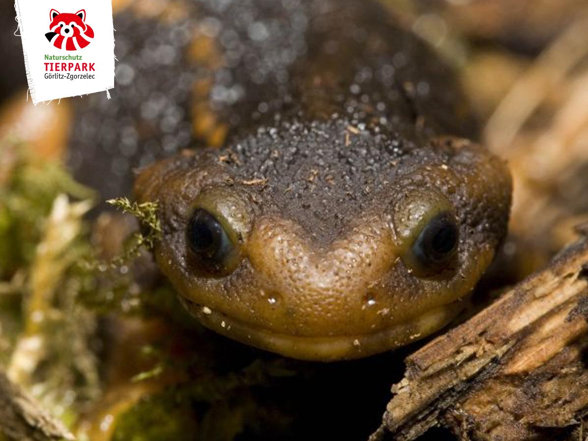 Amphibien - Oberlausitz