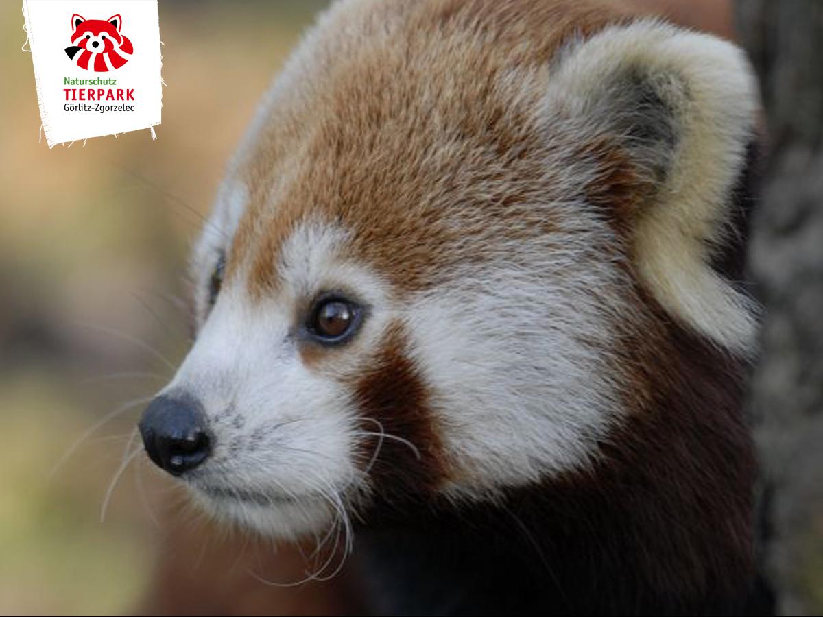 Roter Panda - Nepal